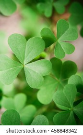 Oxalis plant leaves. Photo of a green oxalis plant leafs.