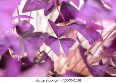 Oxalis Triangular, Purple Shamrock flower, close up