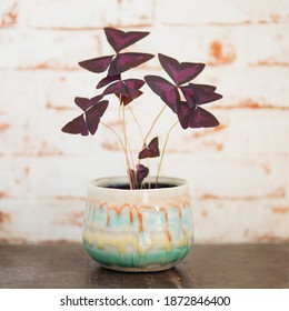 Oxalis Triangularis against red brick background on vintage old wooden table
