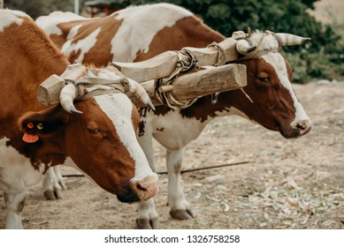 Oxen at the field ready to work