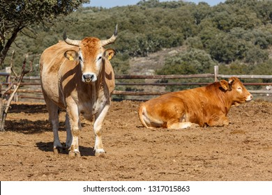 Oxen on the farm.  Spain.