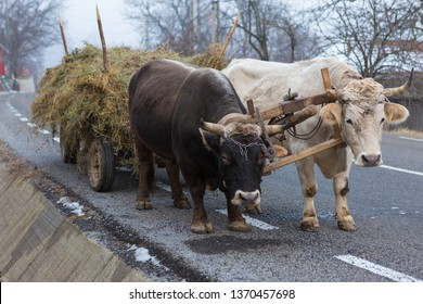 Oxen pulling a cart loaded with hay along a Romanian road. Hardy hardworking animals.
