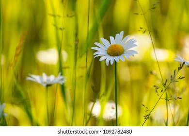 Oxeye daisies in grassy field