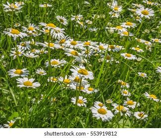 Oxeye daisies (Leucanthemum vulgare, ox-eye daisy) in a meadow
