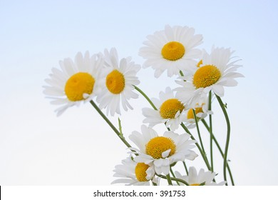 oxeye daisies with sky background