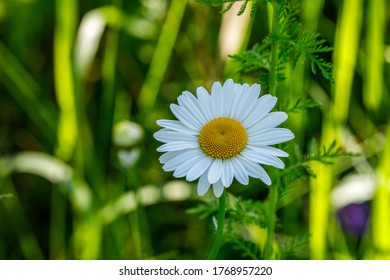 Oxeye Daisy close up in grassy field