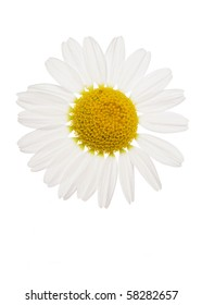 ox-eye Daisy flower studio cutout