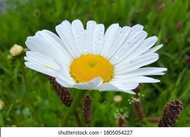Ox-eye Daisy (Leucanthemum vulgare); close-up of flower