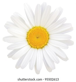 Oxeye Daisy Leucanthemum vulgare Lam., Isolated Ox Eye Macro Closeup