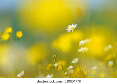 Oxeye daisy, Leucanthemum vulgare, selective focus, with diffused background of Smooth Hawk's beard, crepis capillaris, spring buttercups, clover and meadow grass, The Cotswolds, Gloucestershire, U K