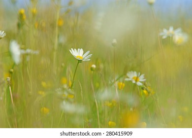 Oxeye daisy, Leucanthemum vulgare, with soft focus and diffused background of spring buttercups, clover and meadow grass, The Cotswolds, Gloucestershire, United Kingdom