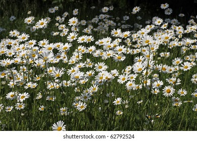 Oxeye daisy, Marguerite - Leucanthemum vulgare in may, Germany, Europe