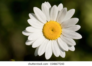 Ox-eye Daisy portrait taken on a sunny morning after overnight dew, some of which can be seen on the white petals. The lovely yellow centre reveals a natural geometric pattern.