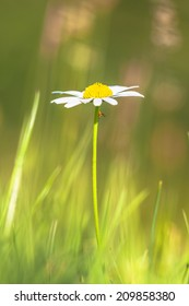 Oxeye Daisy is a widespread flowering plant native to Europe and the temperate regions of Asia