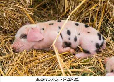 Oxford Sandy and Black piglet asleep. Four day old domestic pigs outdoors, with black spots on pink skin