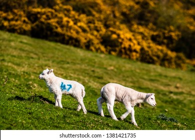 Oxnam, Jedburgh, Scottish Borders, UK. 12th April 2019. Lambs graze next to a large clump of blooming gorse at Swinside in the Scottish Borders.