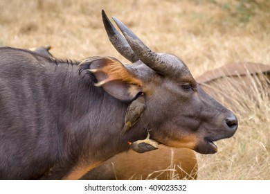 Oxpecker birds clean buffalo's fur and ears from insects in african savanna