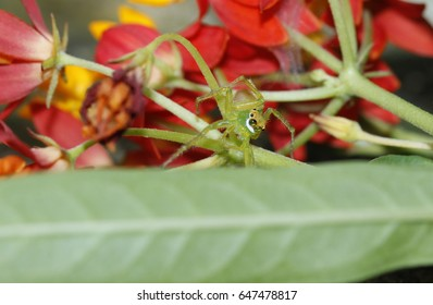 Oxyopes (Lynx spider) in the nature