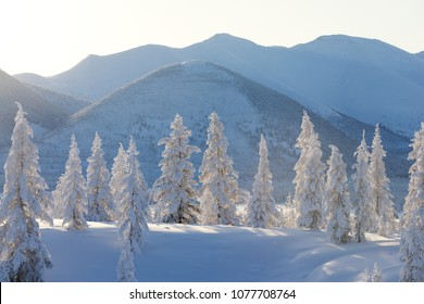 Oymyakon, Yakutia, Russia. Winter forest,  snow-covered fir-trees. Stand-alone trees standing on a hill in the background of the mountains