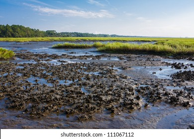 Oyster bed exposed by the low tide