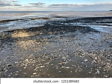 Oyster bed exposed at low tide on the Atlantic Ocean