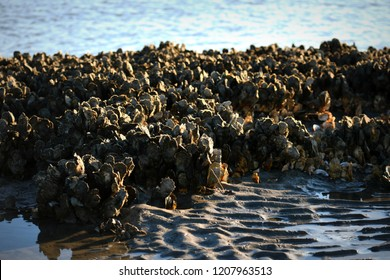 Oyster Bed at Morris Island Lighthouse