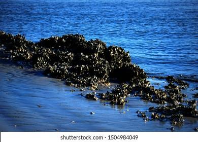 Oyster Bed on the Sea Coast of Morris Island Lighthouse near Charleston, South Carolina