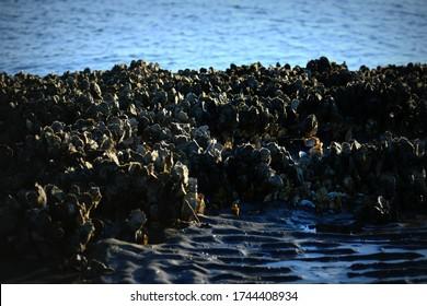 Oyster Bed on the Sea Coast at Morris Island Lighthouse near Charleston, South Carolina