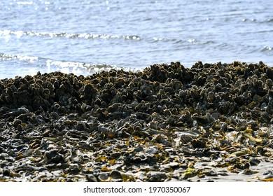 Oyster Bed at Shackleford Banks, Outer Banks, North Carolina