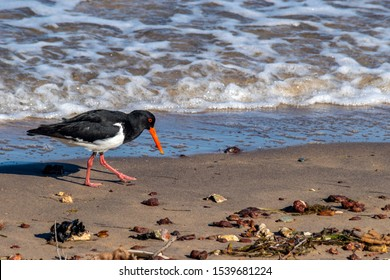 An Oyster Catcher sea bird searches among the surf line and seaweed along the northern Redcliffe beach for sand crabs at low tide
