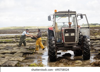 Oyster farm Kilcolgan, county Galway, July 2016. Tractor carrying oysters in metal bags. Kellys Oysters is family business selling oysters, mussels.