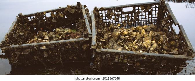 Oyster farming and oyster beds in Wellfleet Massachusetts