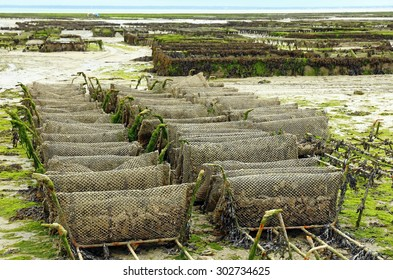 Oyster farming at Cancale in the bay of Mont-Saint-Michel, the English Channel, Ille-et-Vilaine, Brittany, France, at low tide