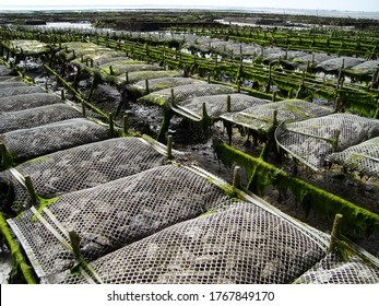 Oyster farming and oyster traps, floating mesh bags