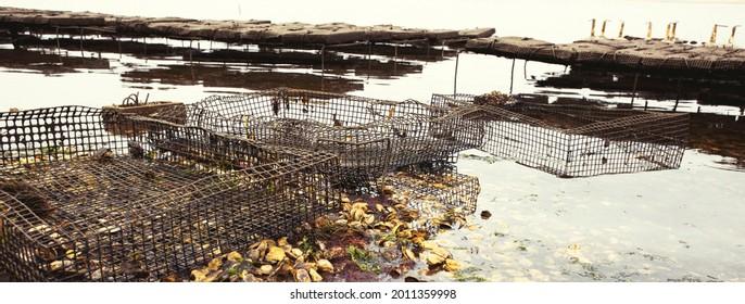 Oyster farming in Wellfleet Massachusetts. Fresh oysters on the beach.