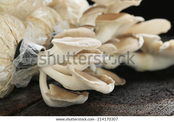 Oyster mushroom grow from cultivation, wood background.