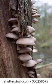oyster mushroom pleurotus ostreatus grow on wood