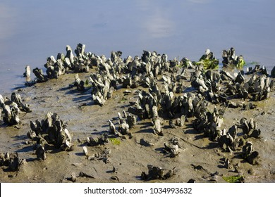 Oyster Reef in Saltwater Marsh at Low Tide