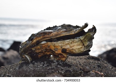 Oyster shell on a rock at the beach