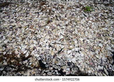 Oyster shells abandoned on the ground