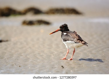 oystercatcher on beach