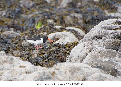 Oystercatcher for you