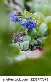 Oysterplant - Mertensia maritima, beautiful rare blue flower from Atlantic islands, Shetlands, UK.