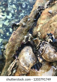 Oysters on rocks in Sydney Harbour