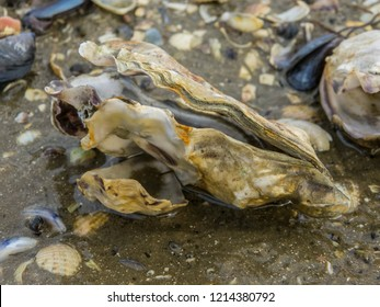Oysters and shells on the beach