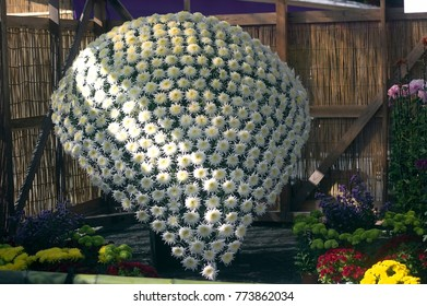 """Ozukuri or """"thousand blooms"""" chrysanthemum, multiple blooms are all from one plant. Chrysanthemums festival in Nihonmatsu, Fukushima, Japan. From October 14, 2017 to November 23, 2017"""