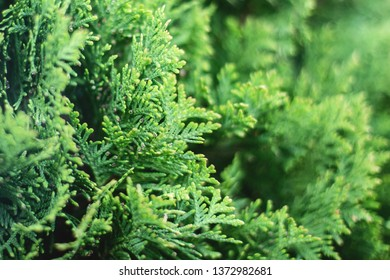 p of green christmas leaves of Thuja trees on white background. Thuja twig, Thuja occidentalis, Platycladus orientalis, Chinese thuja. Evergreen plant