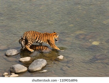 Paarwali cub entering into river from the top of mother at Jim Corbett Tiger Reserve