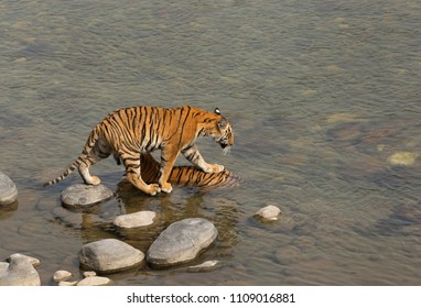 Paarwali cub putting a step on his mother, Jim Corbett Tiger Reserve