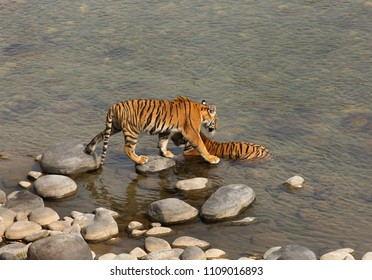 Paarwali and her cub in Ramgana river at Jiim Corbett Tiger Reserve